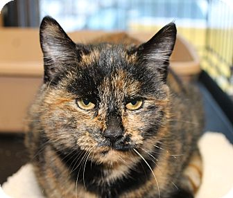Calico Cat for adoption in Smithers, British Columbia - Midnight