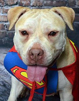 Staffordshire Bull Terrier/Labrador Retriever Mix Dog for adoption in Staten Island, New York - Reesa