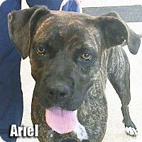 Adopt A Pet :: Ariel - Encino, CA