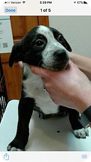 Border Collie/Australian Shepherd Mix Puppy for adoption in Colorado Springs, Colorado - Puppy