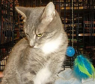 American Shorthair Cat for adoption in Melbourne, Florida - Rosie