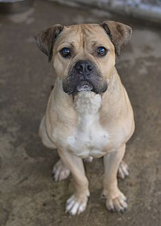 Boxer/Pit Bull Terrier Mix Dog for adoption in Greensburg, Pennsylvania - Tex