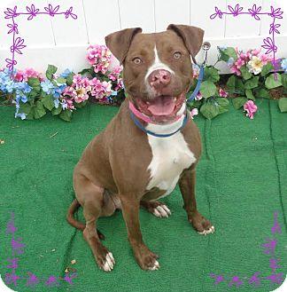 Pit Bull Terrier Mix Dog for adoption in Marietta, Georgia - COCO