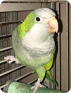 Parakeet - Quaker for adoption in Punta Gorda, Florida - Tabago