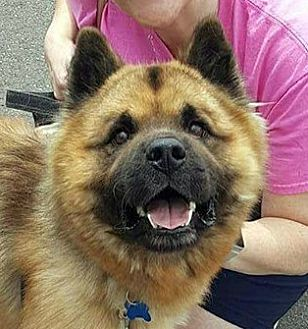 Chow Chow/Shepherd (Unknown Type) Mix Puppy for adoption in Farmington Hills, Michigan - Bailey - Adoption Pending!