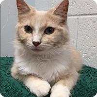 Adopt A Pet :: Pollyanna - Manchester, CT