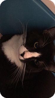 Domestic Shorthair Cat for adoption in Chula Vista, California - Darko