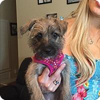 Adopt A Pet :: Cupcake - Brea, CA