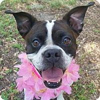 Adopt A Pet :: CeeCee - Umatilla, FL