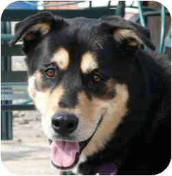 German Shepherd Dog/Rottweiler Mix Dog for adoption in Berea, Ohio - Robbie