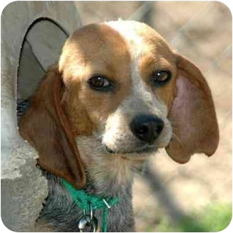 Beagle Mix Dog for adoption in Atkins, Arkansas - JUNE BUG