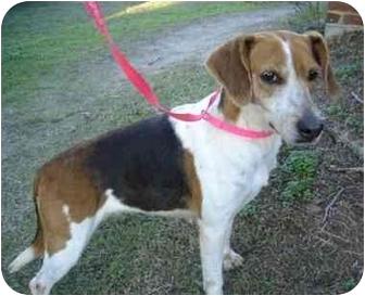 Hound (Unknown Type)/Beagle Mix Dog for adoption in Greenville, North Carolina - Sallie