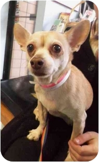 Chihuahua Mix Dog for adoption in New York, New York - Ginger