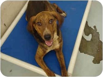 Plott Hound Mix Dog for adoption in Broadway, New Jersey - Jazz