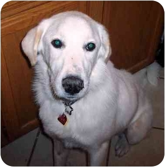 Great Pyrenees/Golden Retriever Mix Dog for adoption in Coppell, Texas - Kolbi