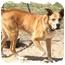 Photo 1 - Alaskan Malamute Mix Dog for adoption in Peconic, New York - Riggs