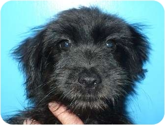 Poodle (Miniature)/Terrier (Unknown Type, Small) Mix Puppy for adoption in Eastpoint, Florida - Victoria