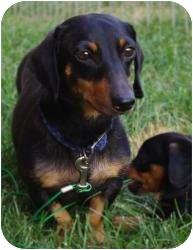 Dachshund Mix Dog for adoption in Proctorville, Ohio, Ohio - Bella