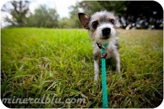 Chihuahua Mix Dog for adoption in Houston, Texas - Chiquita