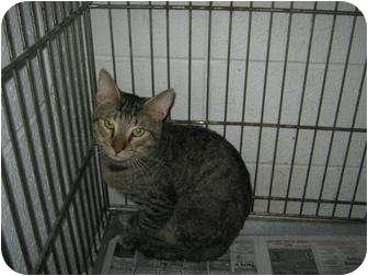 Domestic Mediumhair Cat for adoption in Henderson, North Carolina - Mags