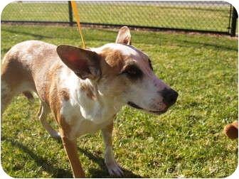 Australian Cattle Dog Mix Dog for adoption in El Cajon, California - Emmy