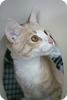 Domestic Shorthair Cat for adoption in Frederick, Maryland - Marshall and Frost
