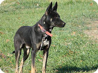 German Shepherd Dog Mix Puppy for adoption in Slanesville, West Virginia - Tonka