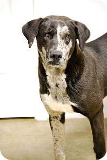 Blue Heeler/Labrador Retriever Mix Dog for adoption in Glastonbury, Connecticut - Joker