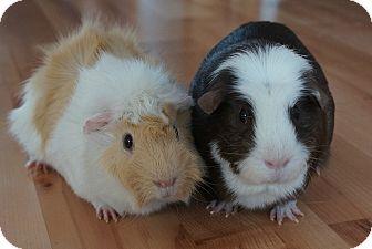 Guinea Pig for adoption in Brooklyn Park, Minnesota - Mick & Harley