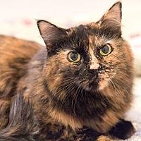 Adopt A Pet :: Zen - Chicago, IL