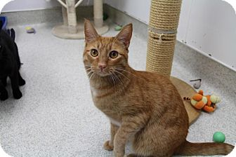 Domestic Shorthair Cat for adoption in Newport Beach, California - Curly