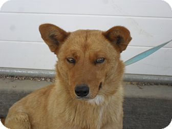 Shepherd (Unknown Type) Mix Dog for adoption in Fort Lupton, Colorado - Charly