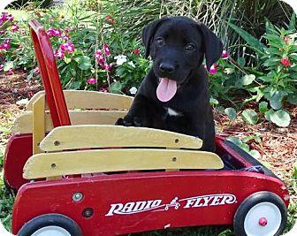 Boxer/Labrador Retriever Mix Puppy for adoption in Port St. Joe, Florida - Penny