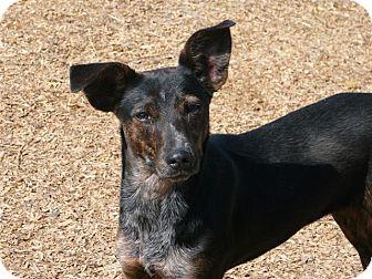Mountain Cur/German Shepherd Dog Mix Dog for adoption in Liberty Center, Ohio - Gracie