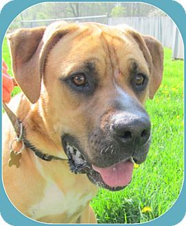 Boxer Mix Dog for adoption in Coldwater, Michigan - Gus - IN TRAINING