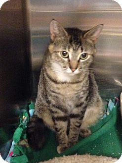 Domestic Shorthair Cat for adoption in Muncie, Indiana - Mylie