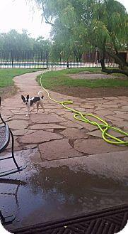 Chihuahua/Boston Terrier Mix Dog for adoption in Wichita Falls, Texas - Pip Pip