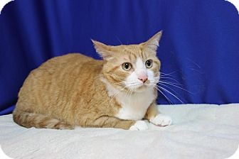 Domestic Shorthair Cat for adoption in Midland, Michigan - Gary - NO FEE
