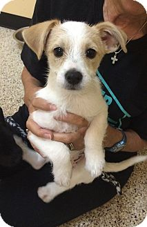 Terrier (Unknown Type, Small)/Chihuahua Mix Puppy for adoption in Thousand Oaks, California - Snoopy