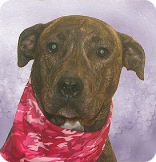 Boxer Mix Dog for adoption in Cincinnati, Ohio - Sophia
