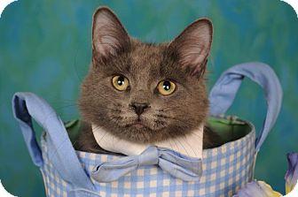Domestic Shorthair Cat for adoption in mishawaka, Indiana - Slater