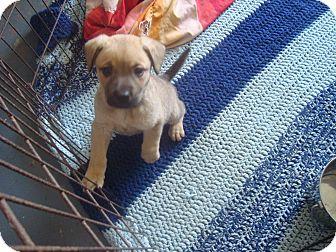 German Shepherd Dog/Retriever (Unknown Type) Mix Puppy for adoption in Old Bridge, New Jersey - Deacon