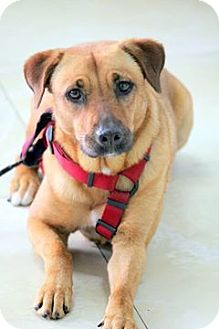 Labrador Retriever/Shepherd (Unknown Type) Mix Dog for adoption in Ft. Lauderdale, Florida - Ruby Sue