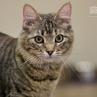 Domestic Longhair Cat for adoption in Houston, Texas - LIL WOMAN