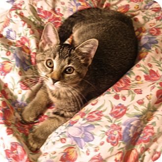 Domestic Shorthair Kitten for adoption in Covington, Kentucky - China Girl