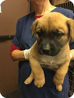 Shepherd (Unknown Type) Mix Puppy for adoption in Hartford, Connecticut - Slider