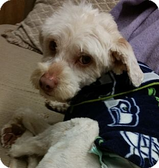 Poodle (Standard)/Terrier (Unknown Type, Small) Mix Dog for adoption in Kirkland, Washington - Wags