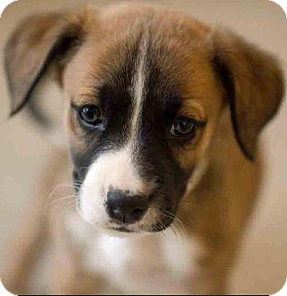 Boxer Mix Puppy for adoption in Gahanna, Ohio - ADOPTED!!!   Ethridge