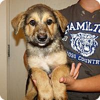 Adopt A Pet :: GSD PUPS MALE - Corona, CA