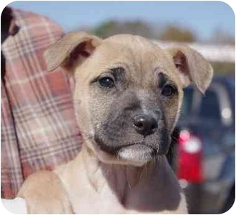 Boxer Mix Puppy for adoption in White Plains, New York - Belle Star